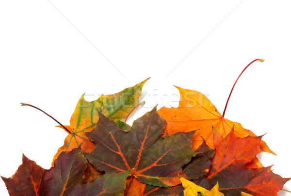 Autumn multicolor maple-leafs  Stock photo © BSANI