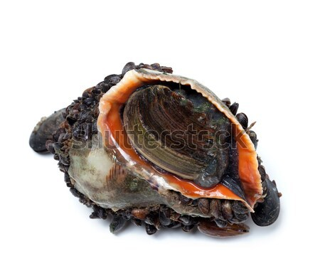 Veined rapa whelk overgrown with mussels Stock photo © BSANI