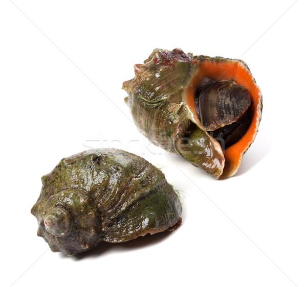 Two veined rapa whelk Stock photo © BSANI