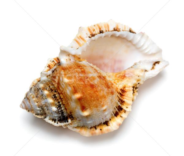 Shell of Tutufa bubo (frog snail) Stock photo © BSANI