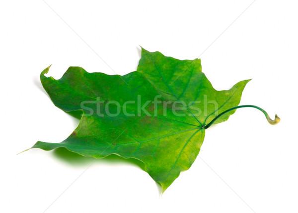 Groene esdoornblad geïsoleerd witte boom najaar Stockfoto © BSANI