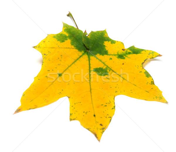 Geel najaar esdoornblad geïsoleerd witte selectieve aandacht Stockfoto © BSANI