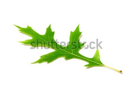 Green oak leaf on white background Stock photo © BSANI