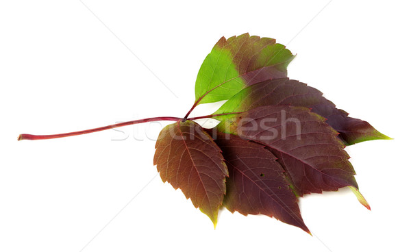 Multicolor autumn virginia creeper leaf (Parthenocissus quinquef Stock photo © BSANI