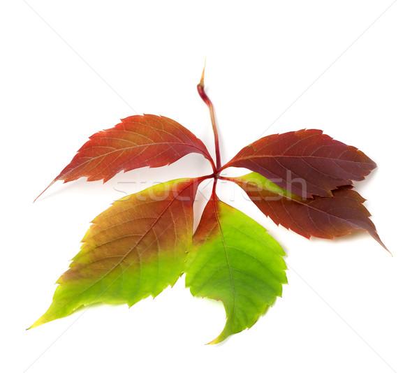 őszi Virginia levél izolált fehér lomb Stock fotó © BSANI