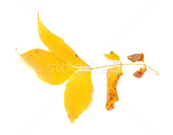 Dry yellow ash-tree leaf Stock photo © BSANI