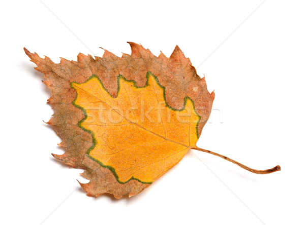 Autumn birch leaf isolated on white background Stock photo © BSANI