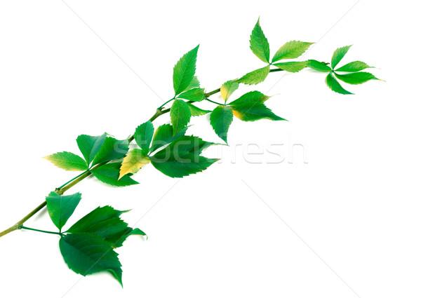 Dal üzüm yaprakları yeşillik yeşil yalıtılmış Stok fotoğraf © BSANI