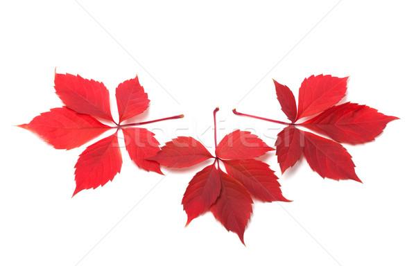 Three red autumn virginia creeper leaves Stock photo © BSANI
