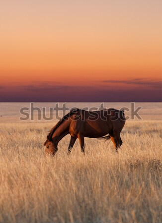 Horse grazing in pasture at sunset Stock photo © BSANI