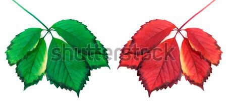 Red and green virginia creeper leaves Stock photo © BSANI