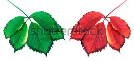 Rouge vert Virginie laisse isolé blanche Photo stock © BSANI