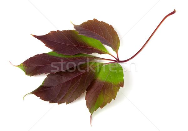 Sonbahar üzüm yaprak yeşillik yalıtılmış beyaz Stok fotoğraf © BSANI