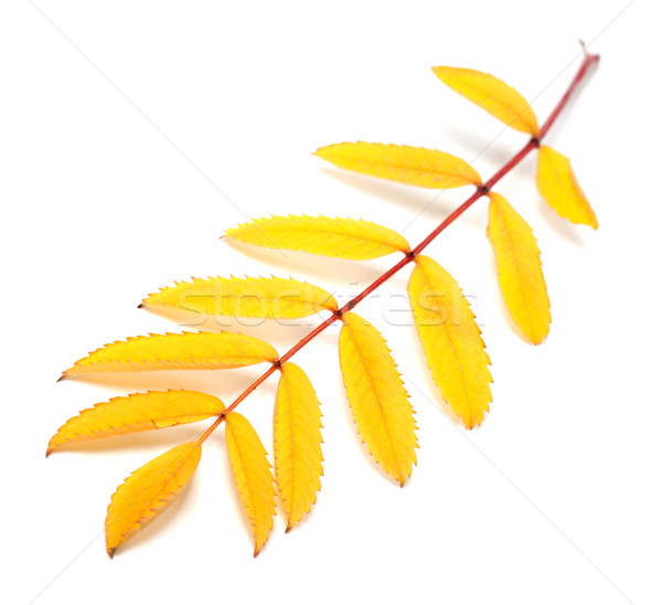 Yellow autumn rowan leaf on white background Stock photo © BSANI