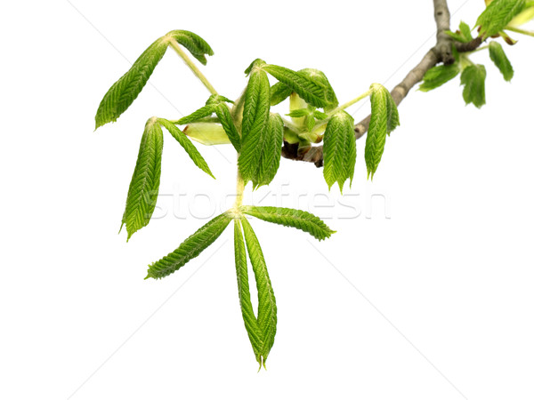 ストックフォト: 春 · 支店 · ツリー · 小さな · 緑の葉 · 孤立した