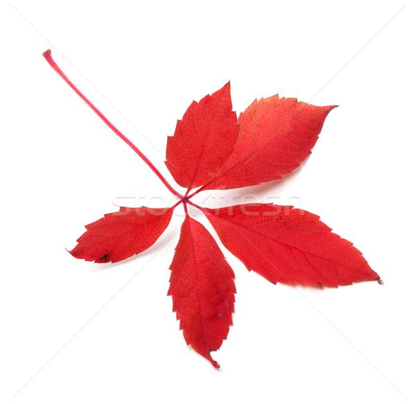 Red autumn virginia creeper leaf Stock photo © BSANI