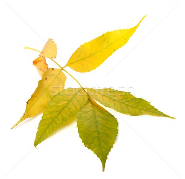 Yellowed autumn ash-tree leaves Stock photo © BSANI