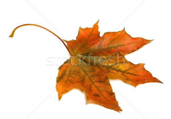Outono maple leaf isolado branco floresta projeto Foto stock © BSANI