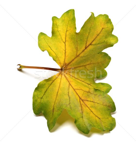 Multi colored autumn leaf Stock photo © BSANI