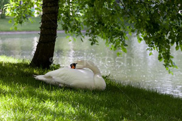 Kısmak kuğu çim ağaç doğa güzellik Stok fotoğraf © BSANI
