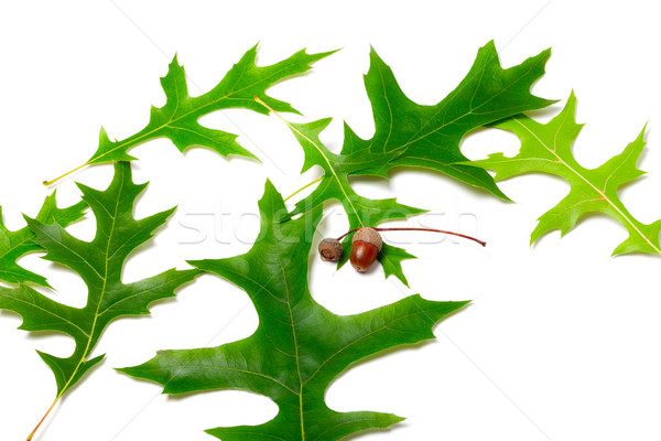 Green leafs of oak (Quercus palustris) and acorns Stock photo © BSANI