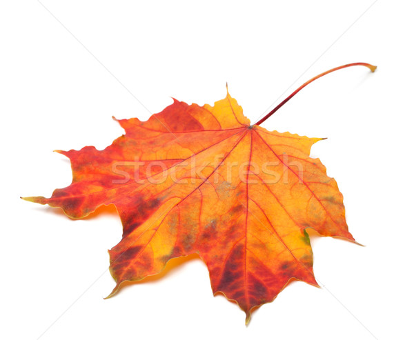 Red autumn maple-leaf Stock photo © BSANI
