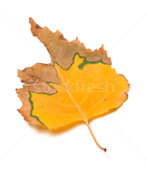 Dried autumn leaf of birch Stock photo © BSANI