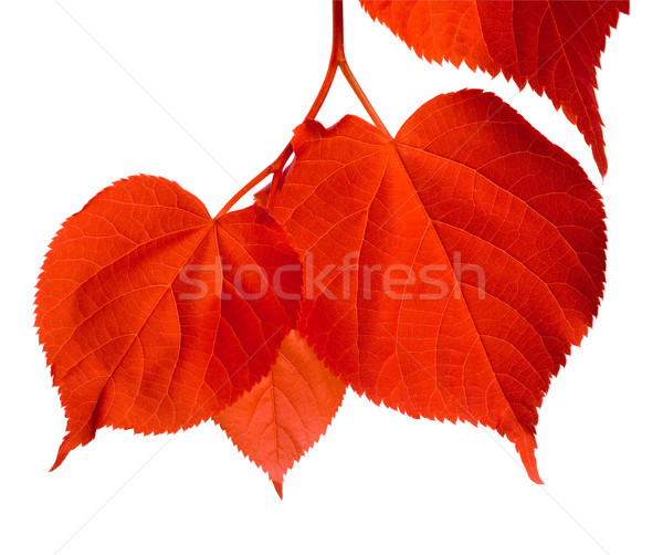 Red linden-tree leafs Stock photo © BSANI
