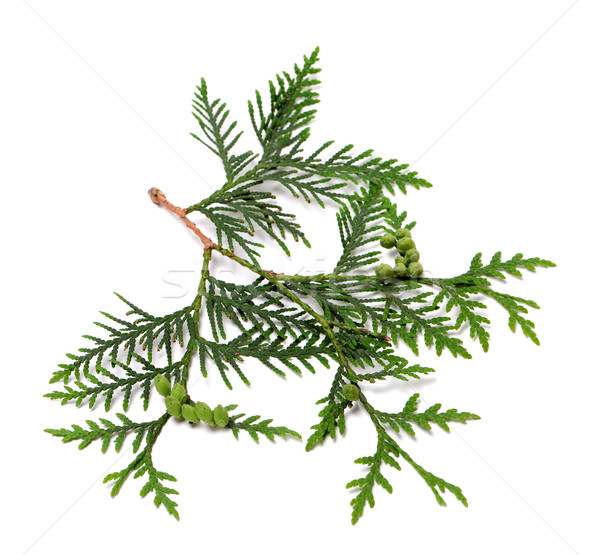 Ttwig of thuja with green cones Stock photo © BSANI