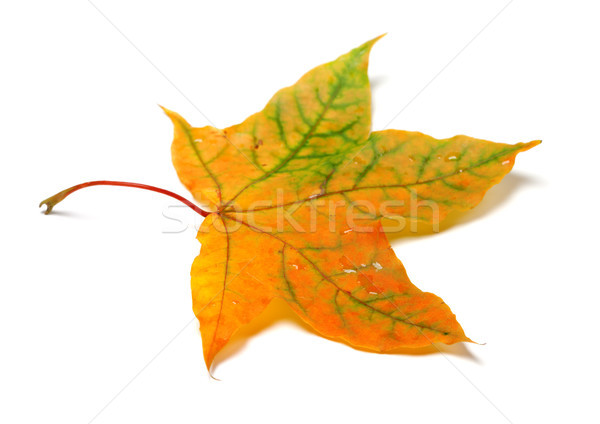 Autumnal multicolor maple-leafs with water drops Stock photo © BSANI