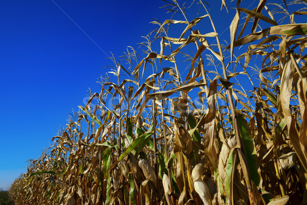Cornfield and blue sky at nice sun day Stock photo © BSANI