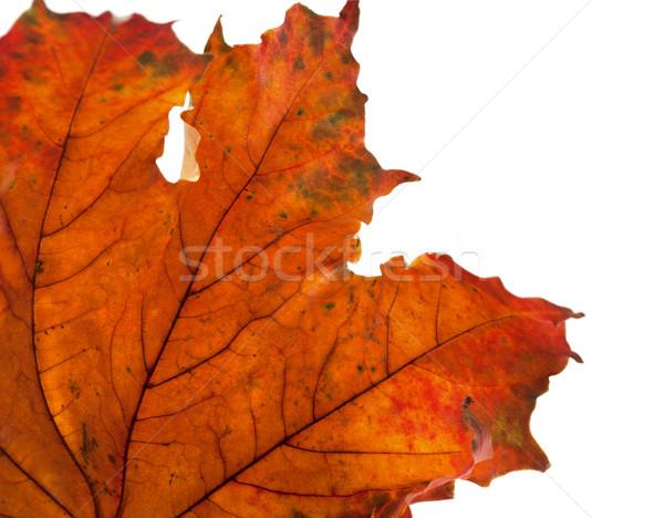 Secar maple leaf canto isolado branco Foto stock © BSANI