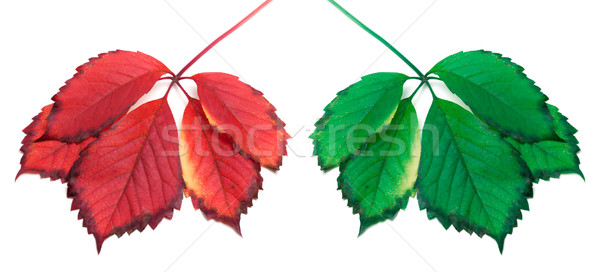 Green and red yellowed leaves (virginia creeper leafs) Stock photo © BSANI
