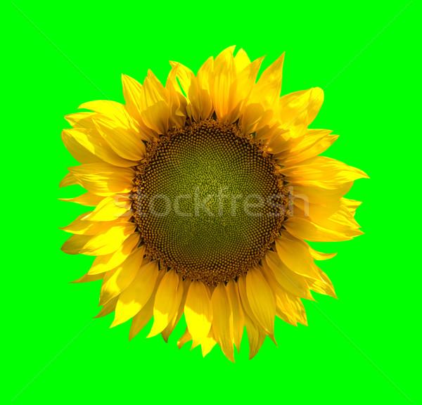 Sunflower on green background Stock photo © BSANI