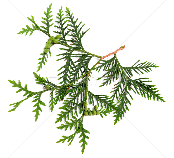 Twig of thuja with green cones Stock photo © BSANI