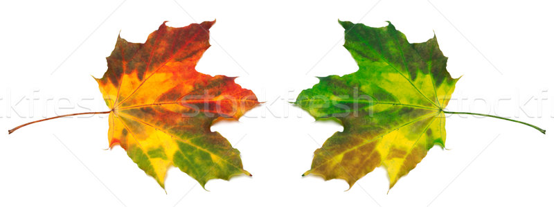 Red and green yellowed maple-leafs Stock photo © BSANI