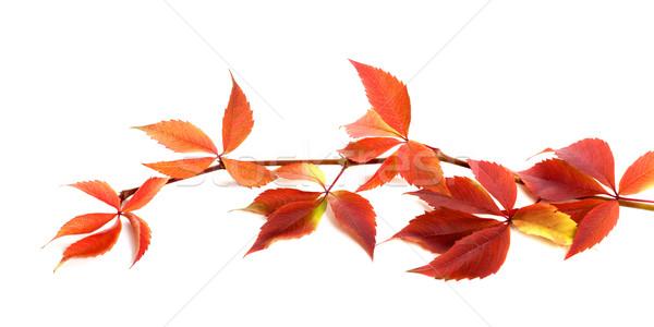 Kırmızı sonbahar şube üzüm yaprakları yeşillik Stok fotoğraf © BSANI