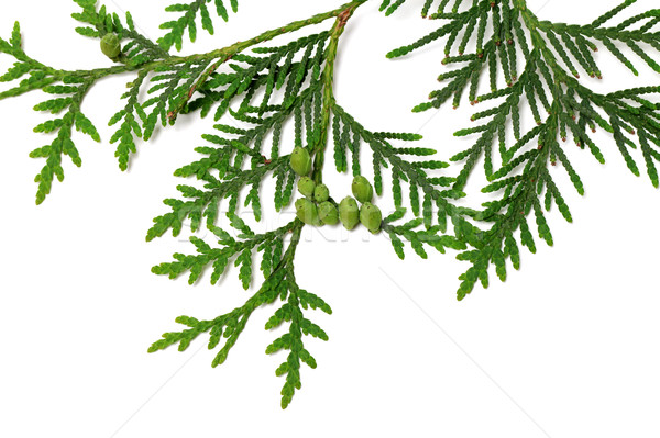 Thuja twig with green cones on white background Stock photo © BSANI