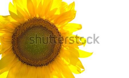 Sunflower Stock photo © BSANI