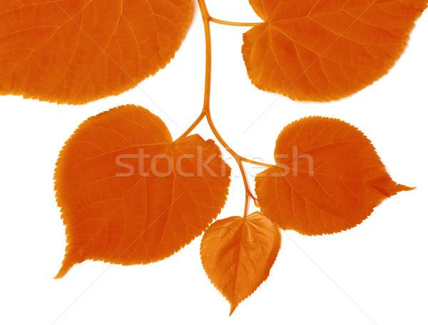 Autumnal linden-tree leafs Stock photo © BSANI