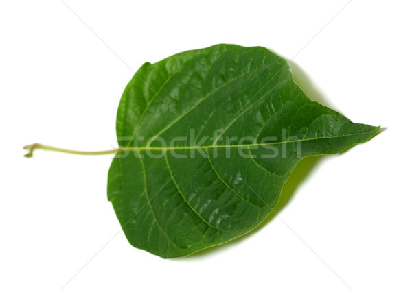 Spring leaf on white background Stock photo © BSANI
