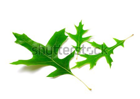 Green oak leaves and acorns Stock photo © BSANI