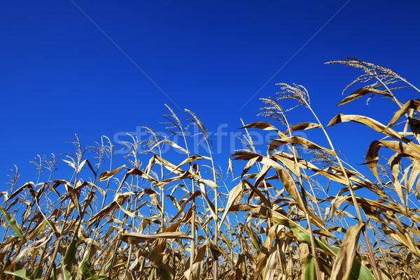 Cornfield and blue clear sky at nice sun day Stock photo © BSANI