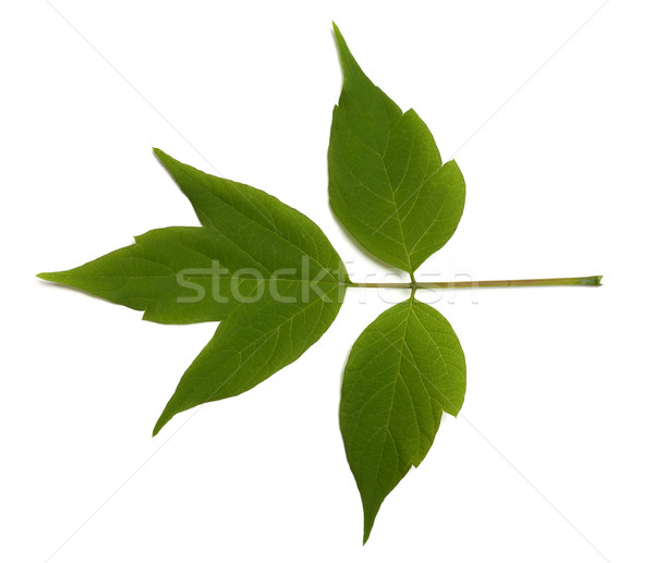 Spring acer negundo leaf on white background Stock photo © BSANI
