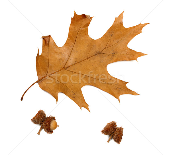 Autumn dried leaf of oak and acorns Stock photo © BSANI