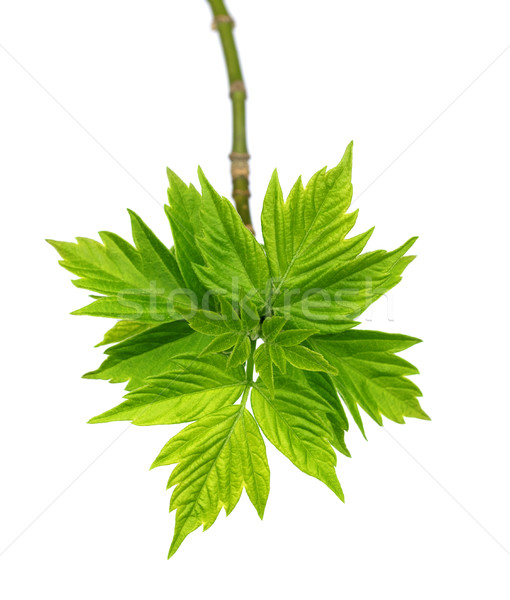 Spring twigs of maple ash (acer negundo) with young leaves Stock photo © BSANI