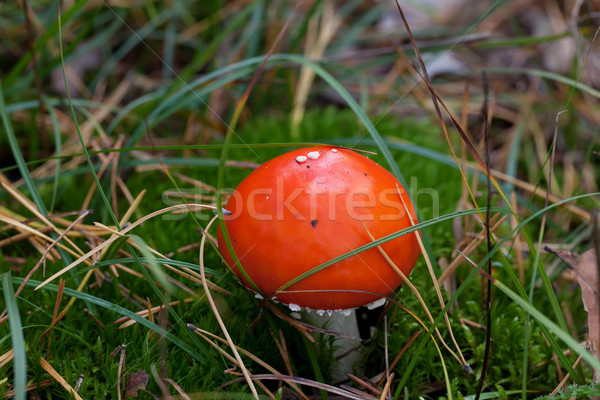 Amanita muscaria mushroom in moss Stock photo © BSANI
