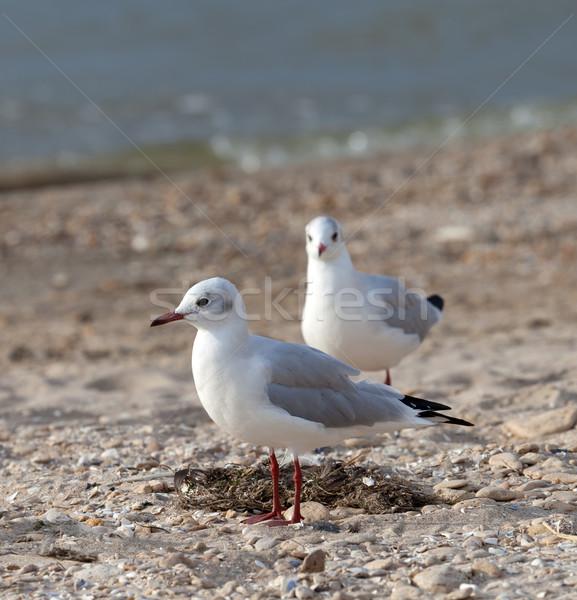 Martılar deniz plaj doğa yaz kuş Stok fotoğraf © BSANI