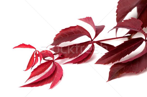 Branch of dark red autumn grapes leaves (Parthenocissus quinquef Stock photo © BSANI