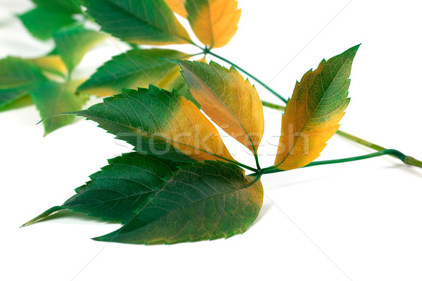 Multicolor grapes leaves (Parthenocissus quinquefolia foliage) Stock photo © BSANI